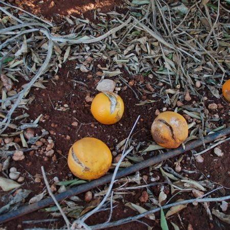 Imagen destacada Los daños por rajado de los cítricos serán cubiertos por el seguro agrario como adversidad climática