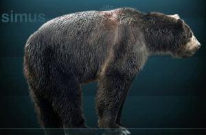 oso-cara-corta