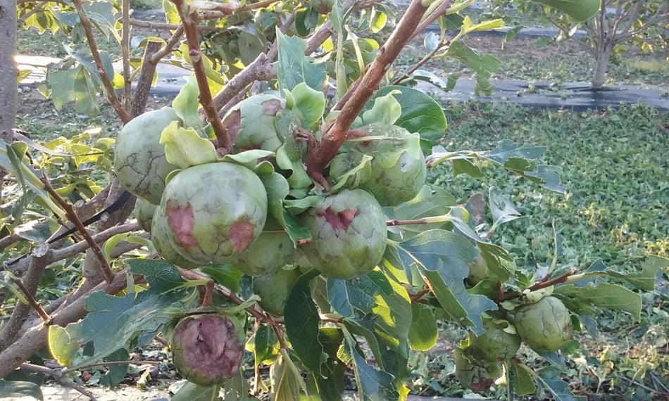 La daños agrícolas de la tormenta del domingo oscilan entre 47 y 80 millones