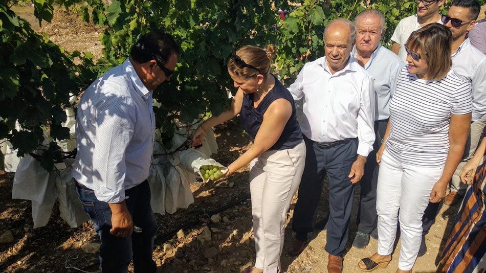 El Vinalopó empieza la recolección de la uva embolsada de mesa