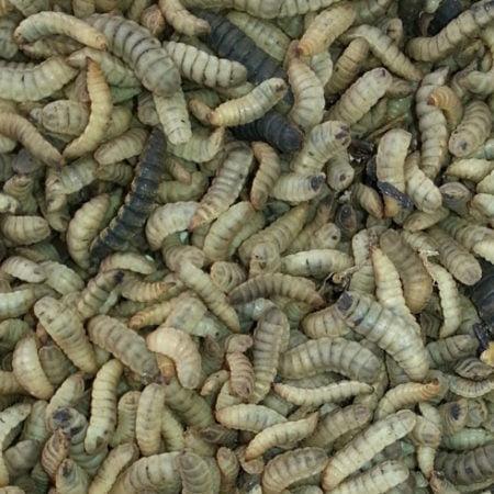 bioflytech-larvae
