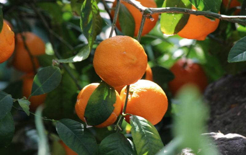 Una plataforma comercial de naranjas, impulsada por la demanda y por la covid