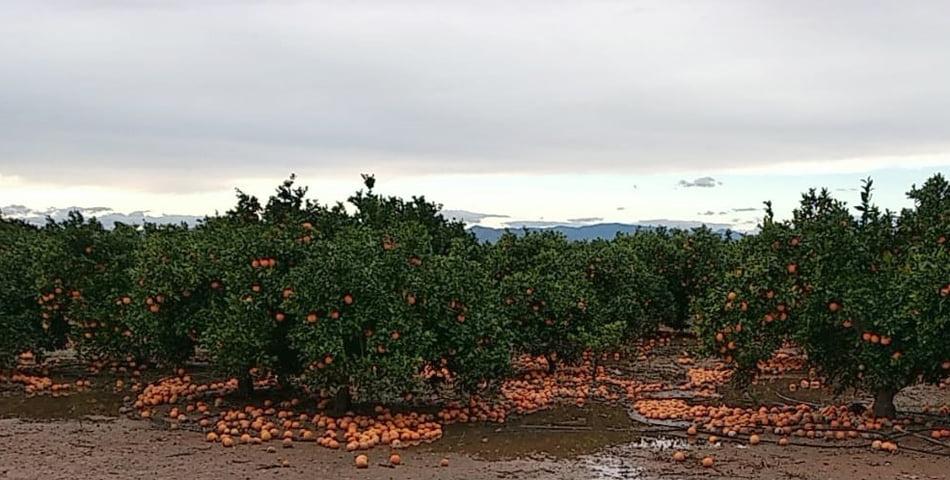 AVA-Asaja exige fondos propios a los Gobiernos central y autonómico contra la crisis citrícola