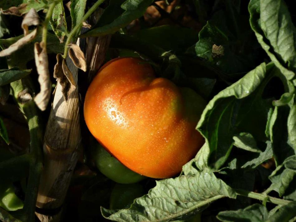 Imagen destacada Los residuos del cultivo de tomate se convierten en productos bioprotectores