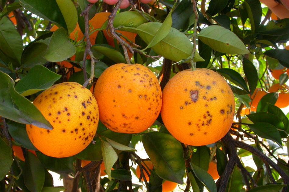 AVA-Asaja y La Unió alertan de la presencia de plagas en cítricos importados
