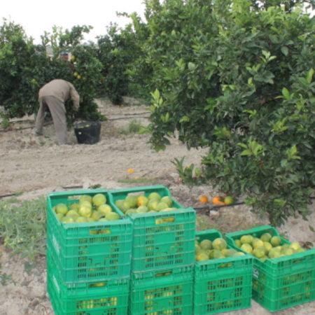 la-campaña-citricola-arranca-en-castellon-con-un-incremento-del-38%-de-la-produccion