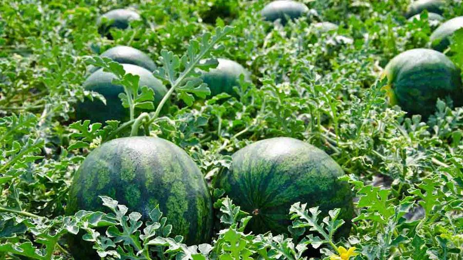 Imagen destacada El cultivo del melón y la sandía cae estrepitosamente en el campo valenciano