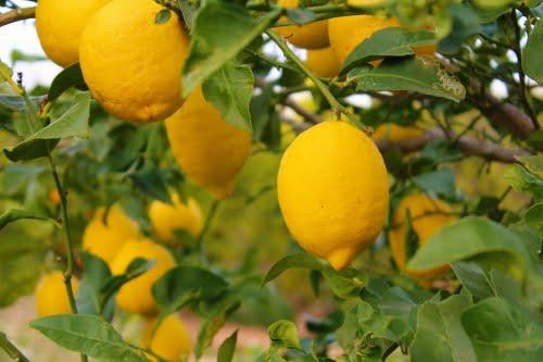 Imagen destacada La Unió reafirma que el limón Verna cotiza un 61% menos que en la campaña anterior