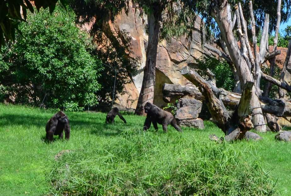 Imagen destacada Los gorilas estrenan nuevo recinto mejorado en el Bioparc
