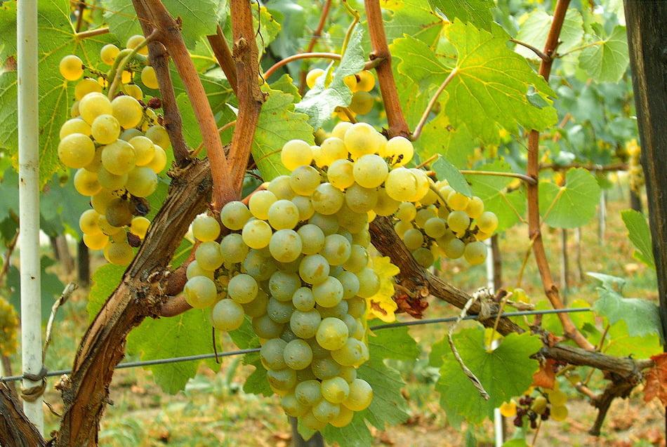 Imagen destacada La uva de cava no alcanza el precio que cubra el coste de producción