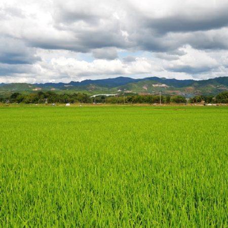 ava-asaja-arroz