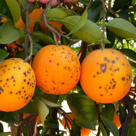 citricos-sudafricanos
