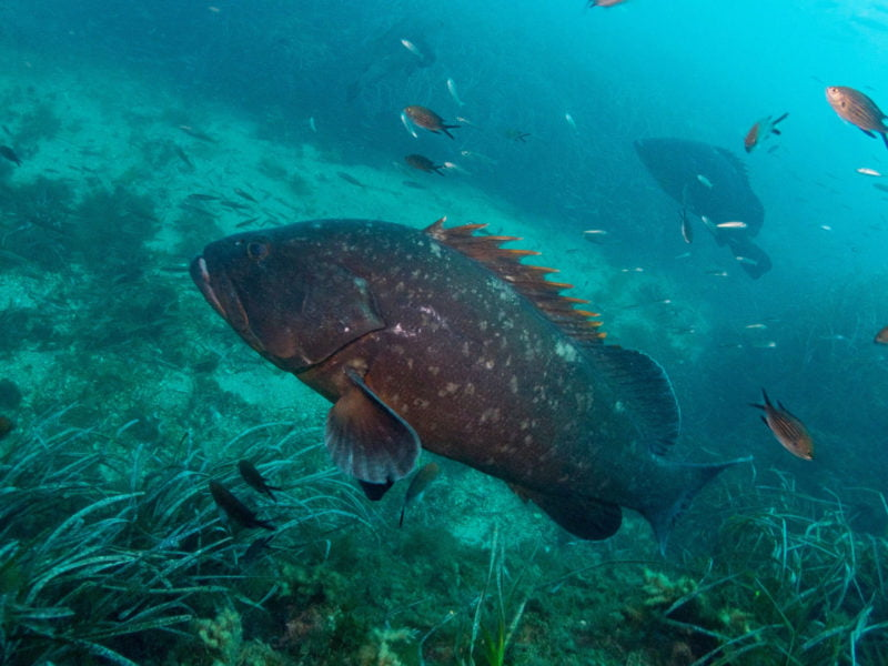 peces-tabarca-buceo