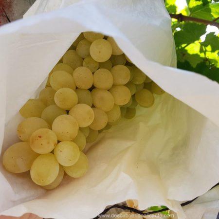 uva-de-mesa