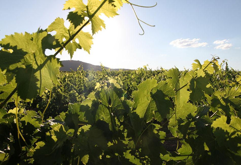 viñas-Bodegas-Vicente-Gandia