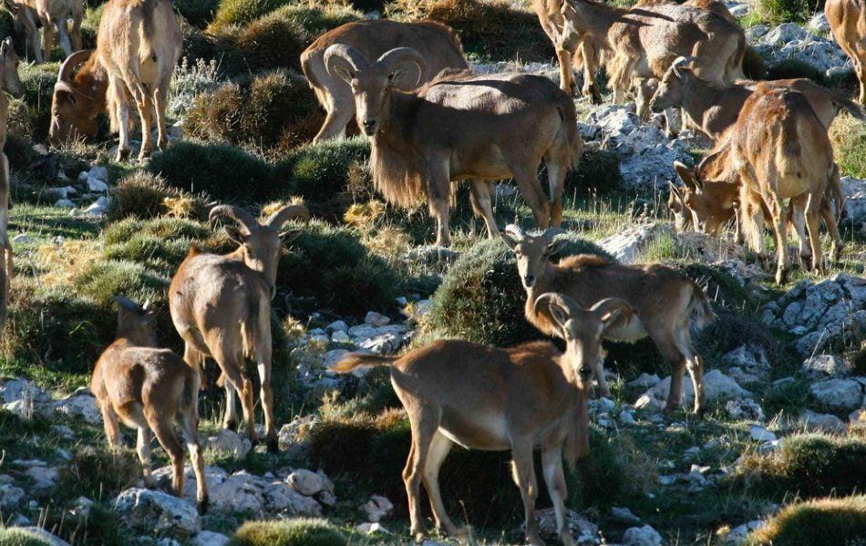 Imagen destacada Las cabras silvestres suavizan los efectos del cambio climático sobre la vegetación