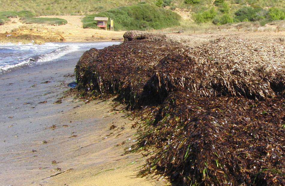 Iata e Itene producen bioplásticos a partir de restos de posidonia