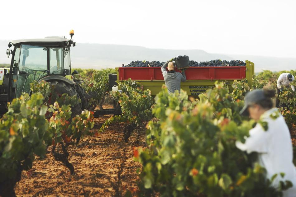 Imagen destacada La vendimia de la DO Utiel Requena fue de 212 millones de kilos de uva