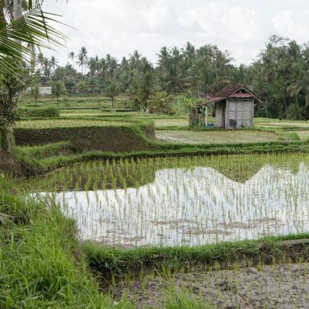 arroz-myanmar