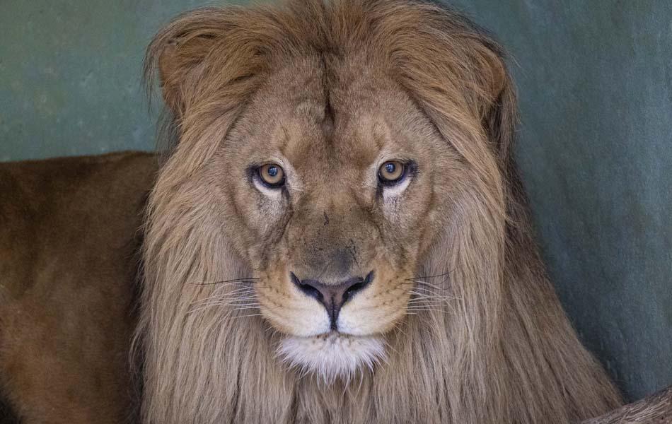 Imagen destacada Lubango, el nuevo león del Bioparc, ya está en Valencia