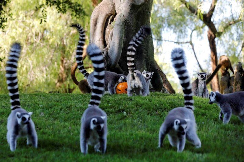 Animales del Bioparc celebran Halloween con su comida favorita en calabazas