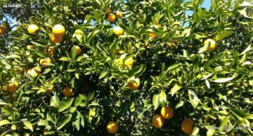 Naranjas de Palma es una empresa cordobesa que vende naranjas frescas por Internet