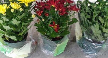 Floricultura Hermanos Jurado es una empresa dedicada al cultivo de planta de temporada y flor cortada
